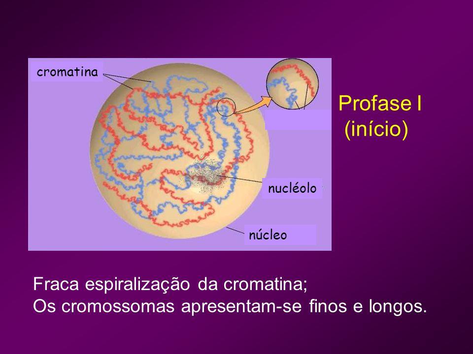 Cromossomas Sinapse Nucléolo Núcleo Os cromossomas homólogos emparelham – díadas cromossómicas ou bivalentes; Sinapse - justaposição dos cromossomas gene a gene.