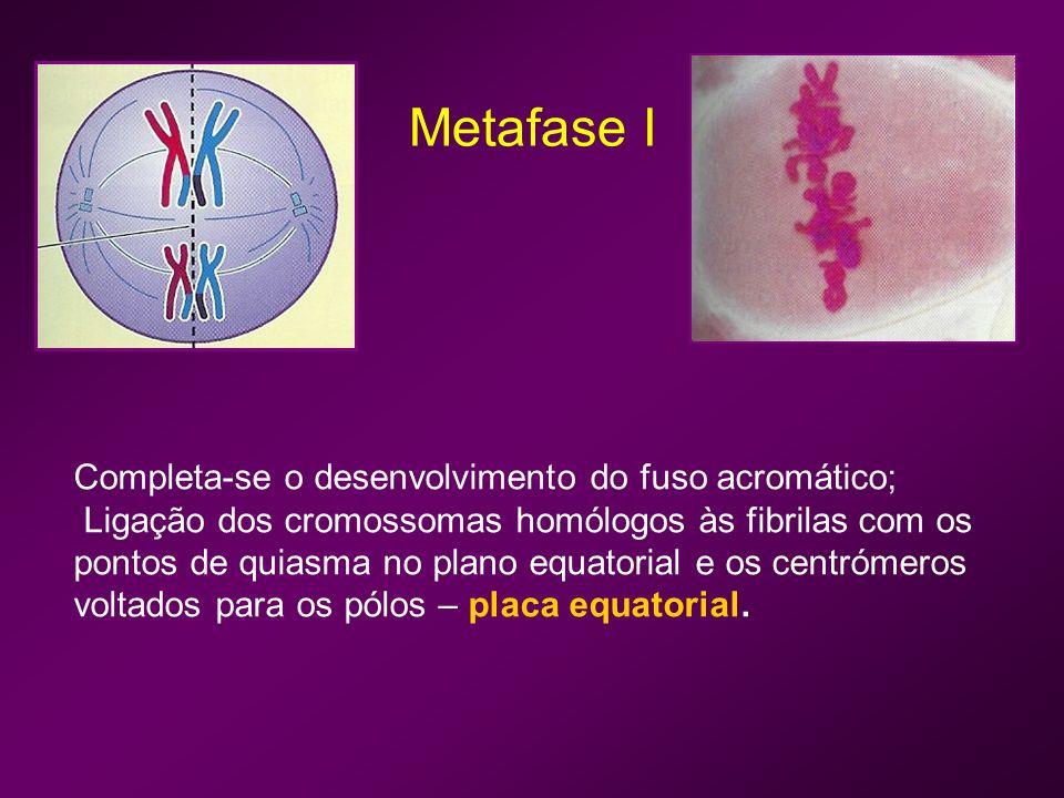 Anafase I Segregação dos homólogos; Rompimento dos pontos de quiasma ainda existentes; Migração aleatória dos cromossomas para os pólos.