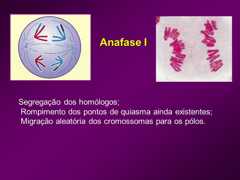 Telofase I Cromossomas-filhos atingem os pólos; Desaparecimento do fuso mitótico; Reorganização da membrana nuclear; Descondensação dos cromossomas; Reaparecimento dos nucléolos.