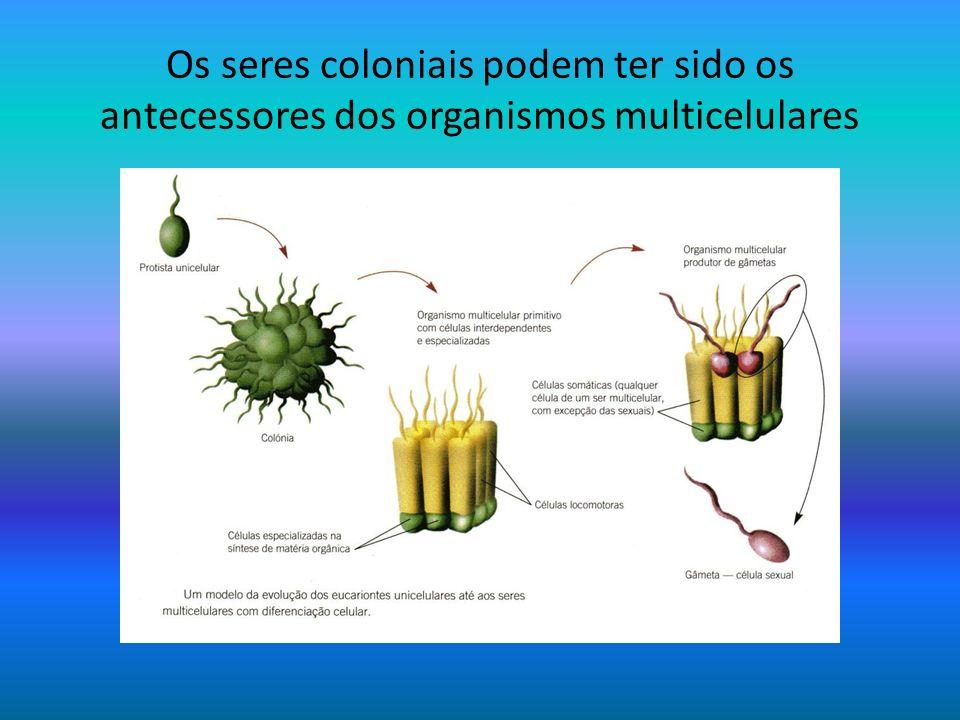 Os seres coloniais podem ter sido os antecessores dos organismos multicelulares