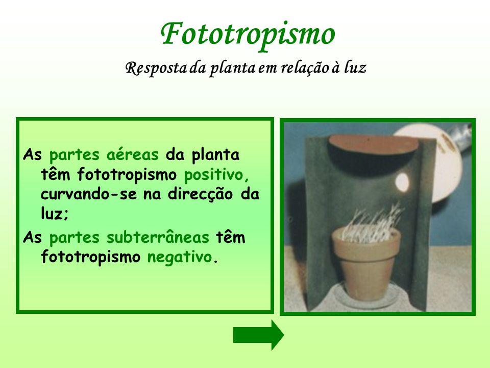 Fototropismo Resposta da planta em relação à luz As partes aéreas da planta têm fototropismo positivo, curvando-se na direcção da luz; As partes subte