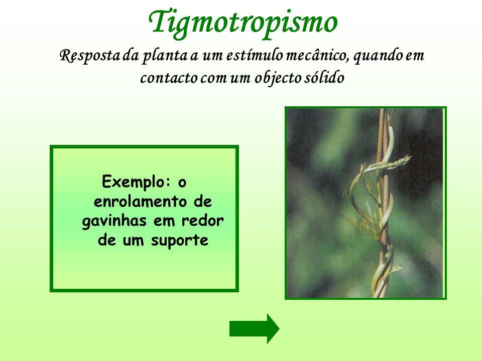 Tigmotropismo Resposta da planta a um estímulo mecânico, quando em contacto com um objecto sólido Exemplo: o enrolamento de gavinhas em redor de um su