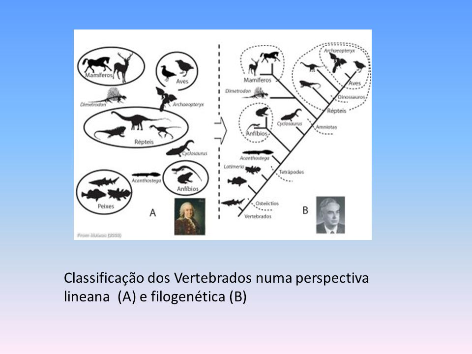 Classificação dos Vertebrados numa perspectiva lineana (A) e filogenética (B)