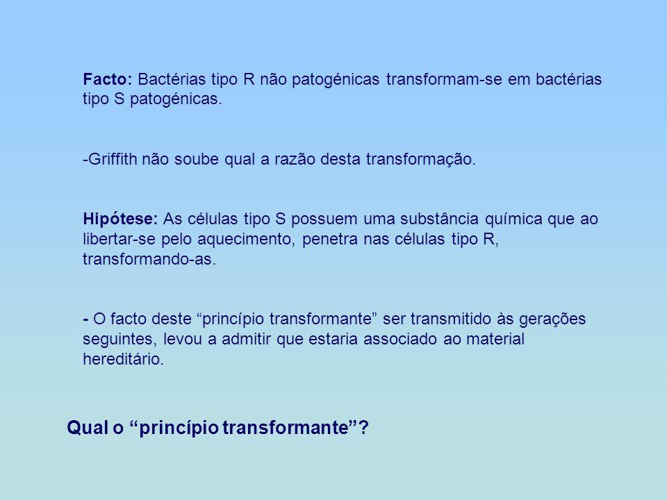 Facto: Bactérias tipo R não patogénicas transformam-se em bactérias tipo S patogénicas. -Griffith não soube qual a razão desta transformação. Hipótese