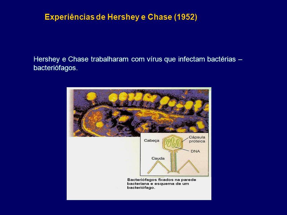 Experiências de Hershey e Chase (1952) Hershey e Chase trabalharam com vírus que infectam bactérias – bacteriófagos.