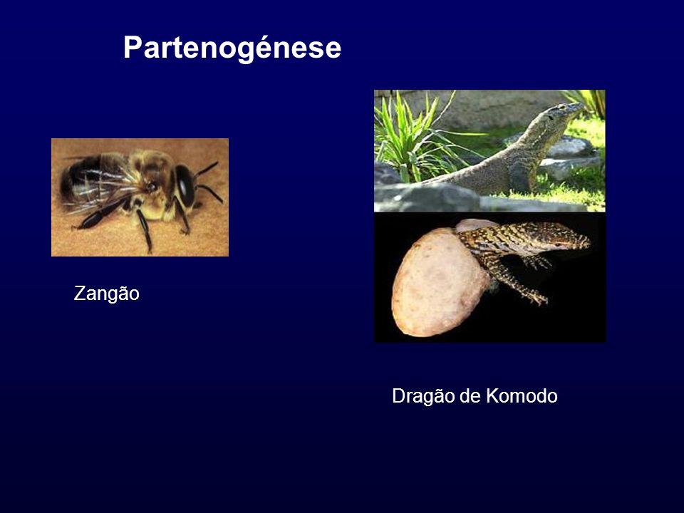 Partenogénese Zangão Dragão de Komodo