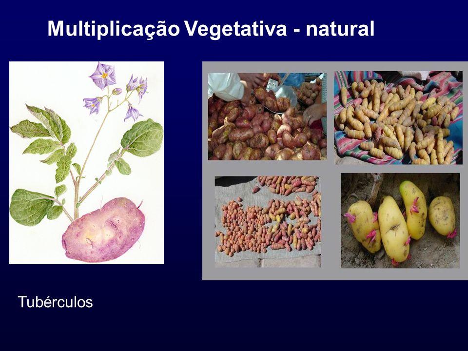Multiplicação Vegetativa - natural Tubérculos