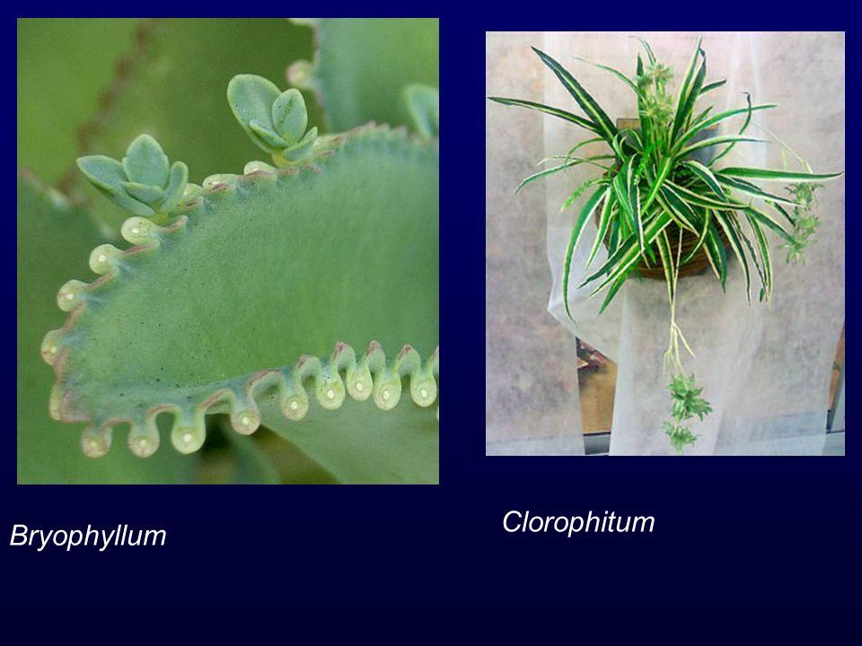 Bryophyllum Clorophitum