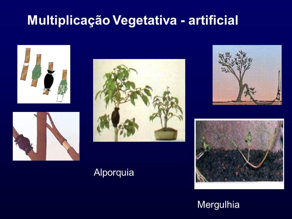 Multiplicação Vegetativa - artificial Alporquia Mergulhia