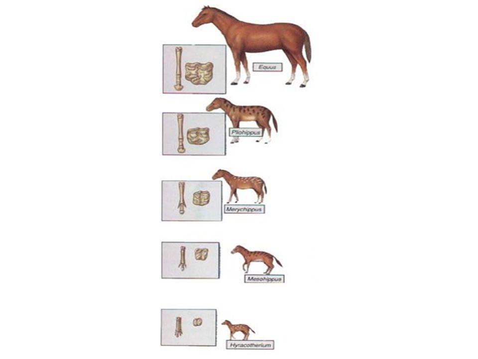 Argumentos da Anatomia Comparada Estruturas Homólogas- são estruturas com origem embrionária semelhante, constituídas por ossos idênticos com um plano de organização semelhante, embora apresentem um aspecto diferente e desempenham também funções diferentes.