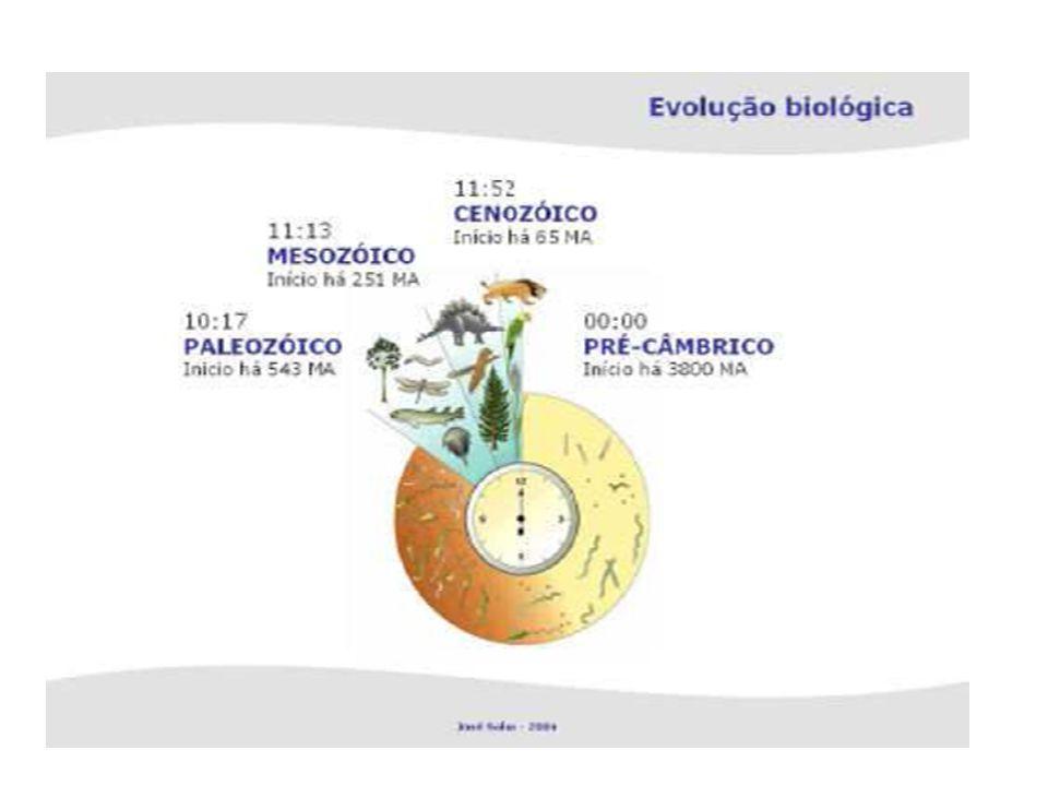 Fundamentos do modelo endossimbiótico Mitocôndrias e cloroplastos assemelham-se a bactérias na forma, tamanho e estrutura; Estes organelos produzem as suas membranas internas, dividem-se independentemente da célula e contêm DNA, em moléculas circulares não associadas a proteínas; Os seus ribossomas são mais parecidos com os da célula procariótica; Actualmente, encontram-se associações simbióticas entre bactérias e alguns eucariontes.