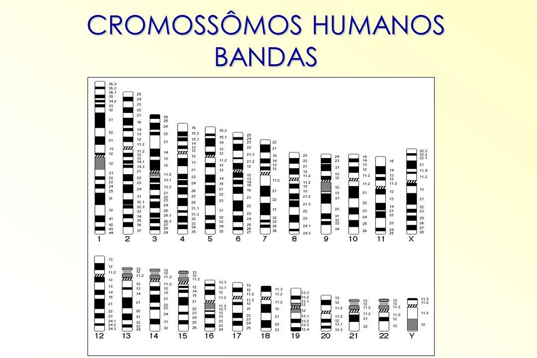 CROMOSSÔMOS HUMANOS BANDAS