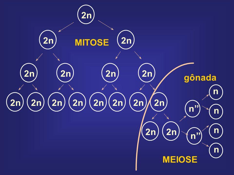 Redução do número de cromossomos Segregação de alelos Recombinação cromossômica Recombinação gênica CONSEQUÊNCIAS GENÉTICAS DA MEIOSE