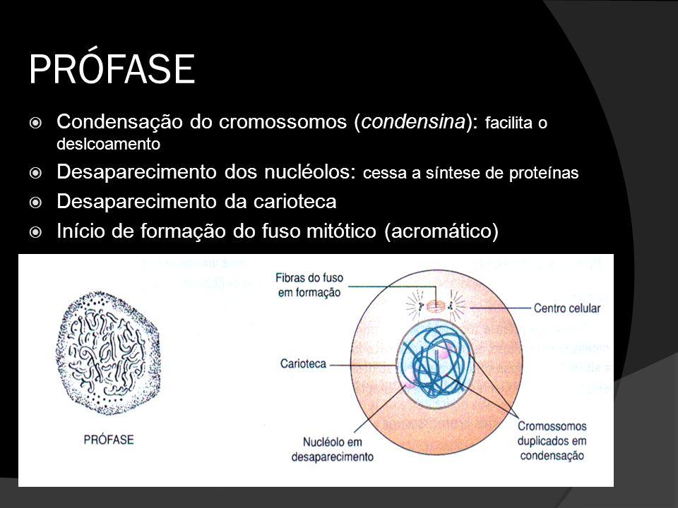 PRÓFASE Condensação do cromossomos (condensina): facilita o deslcoamento Desaparecimento dos nucléolos: cessa a síntese de proteínas Desaparecimento d