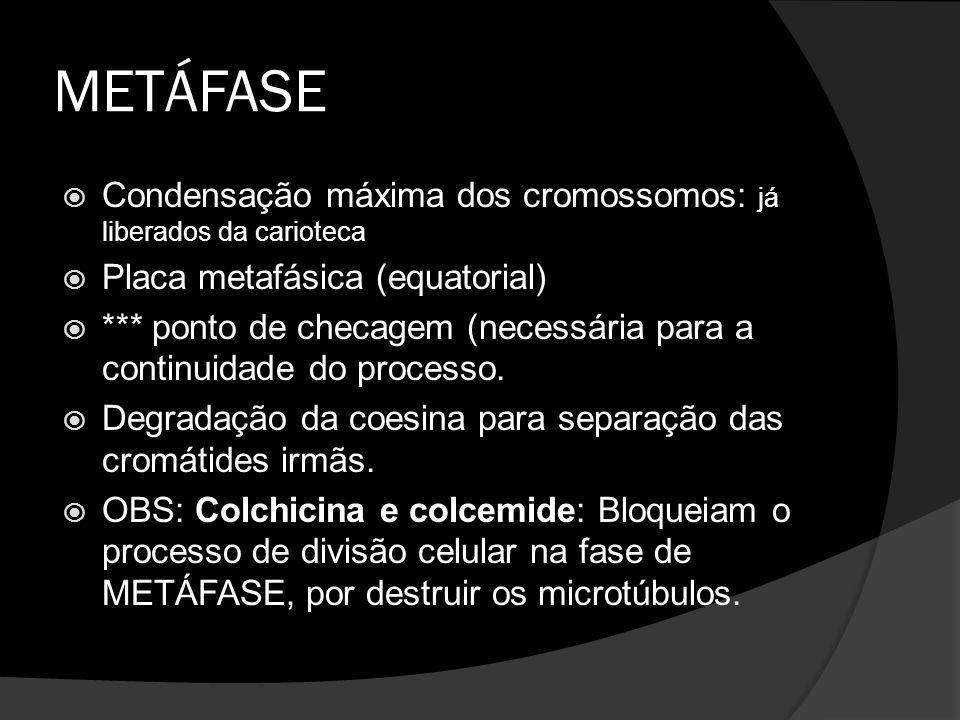 METÁFASE Condensação máxima dos cromossomos: já liberados da carioteca Placa metafásica (equatorial) *** ponto de checagem (necessária para a continui