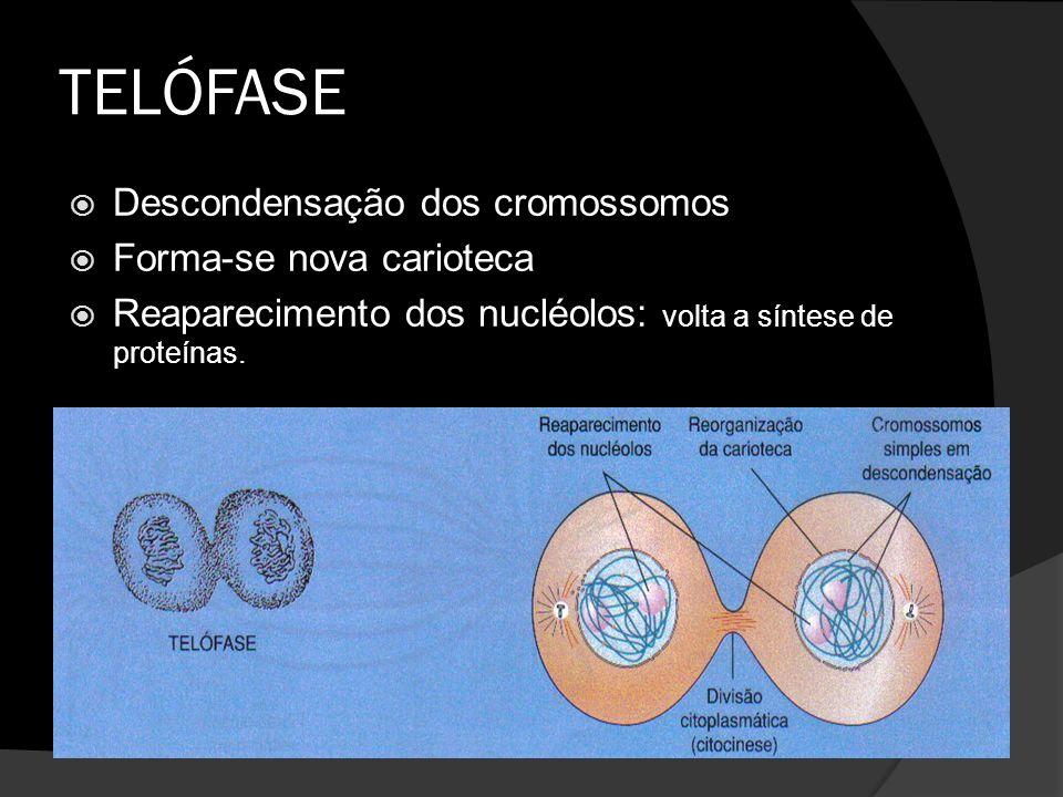 TELÓFASE Descondensação dos cromossomos Forma-se nova carioteca Reaparecimento dos nucléolos: volta a síntese de proteínas.