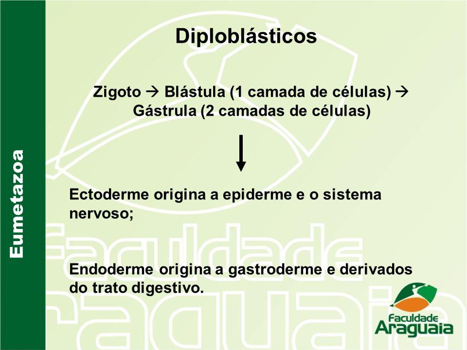 Eumetazoa Diploblásticos Zigoto Blástula (1 camada de células) Gástrula (2 camadas de células) Ectoderme origina a epiderme e o sistema nervoso; Endod