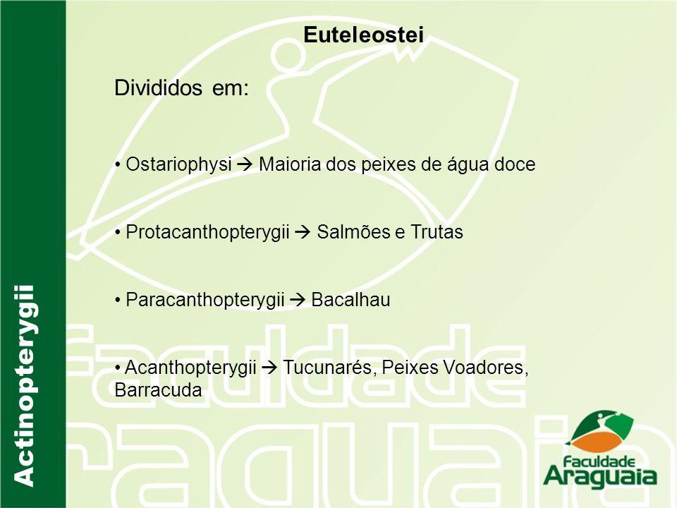 Actinopterygii Euteleostei Divididos em: Ostariophysi Maioria dos peixes de água doce Protacanthopterygii Salmões e Trutas Paracanthopterygii Bacalhau