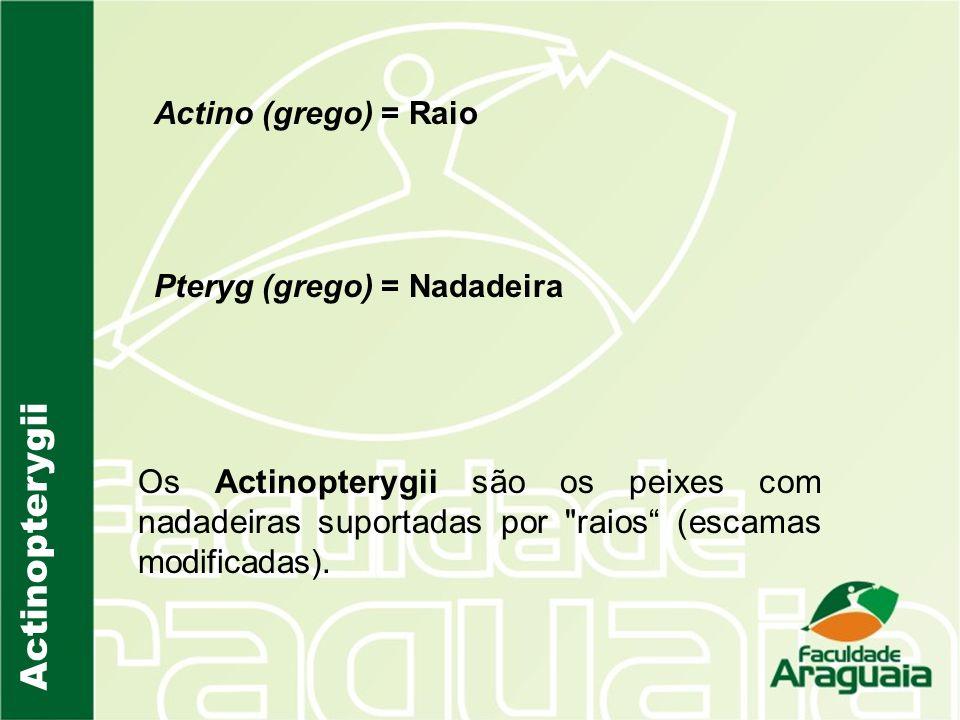 Actino (grego) = Raio Pteryg (grego) = Nadadeira Os Actinopterygii são os peixes com nadadeiras suportadas por