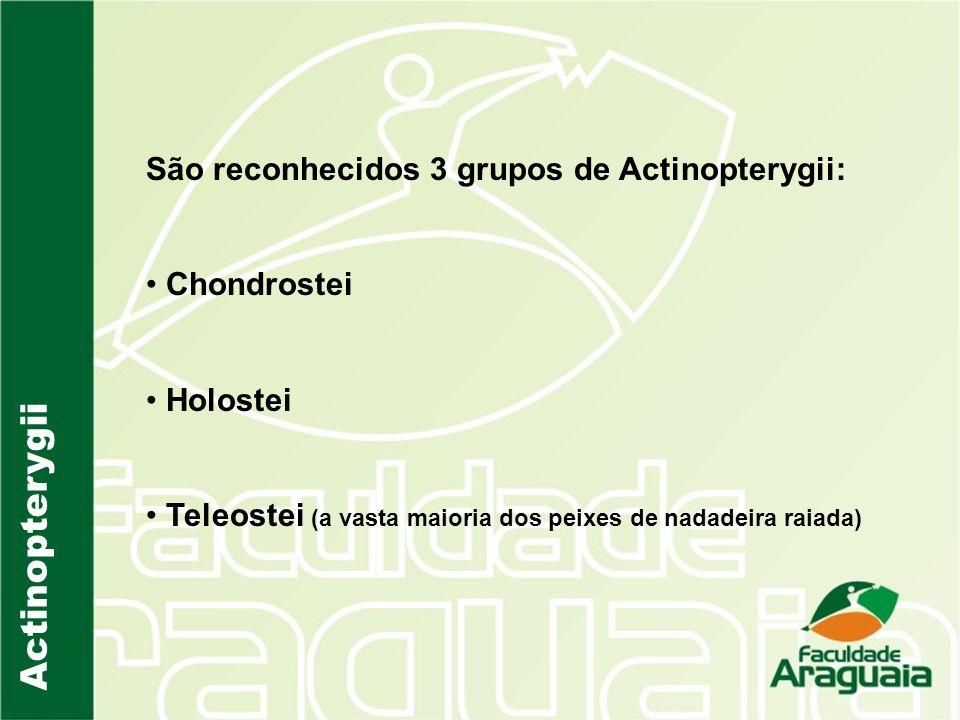 Actinopterygii São reconhecidos 3 grupos de Actinopterygii: Chondrostei Holostei Teleostei (a vasta maioria dos peixes de nadadeira raiada)