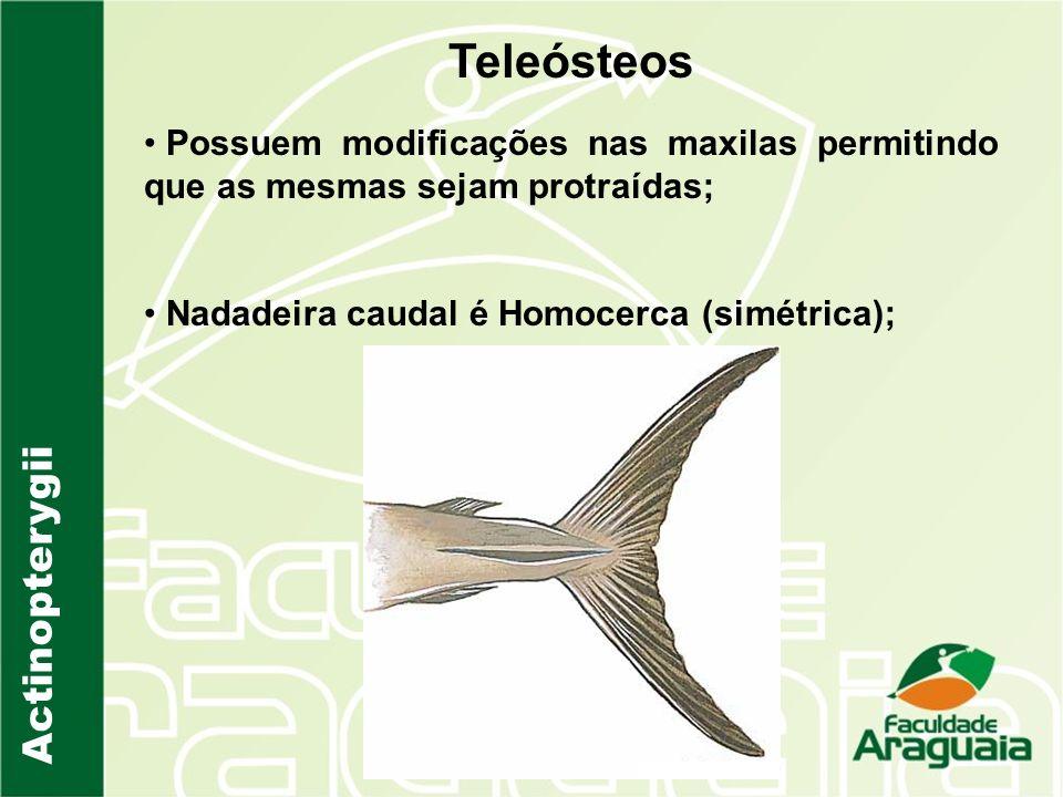 Actinopterygii Teleósteos Possuem modificações nas maxilas permitindo que as mesmas sejam protraídas; Nadadeira caudal é Homocerca (simétrica);