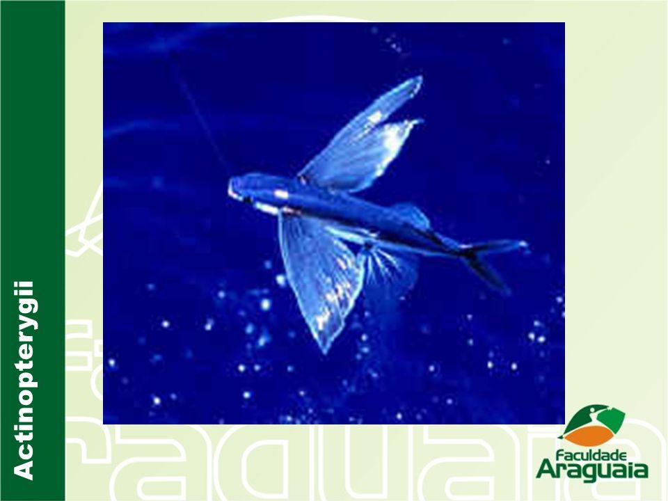 Os Teleosteos são divididos em quatro clados: Osteoglossomorfa Aruanã e Pirarucu Elopomorpha Enguias Clupeomorpha Arenque, Sardinha, Anchova Euteleostei A vasta maioria dos peixes conhecidos