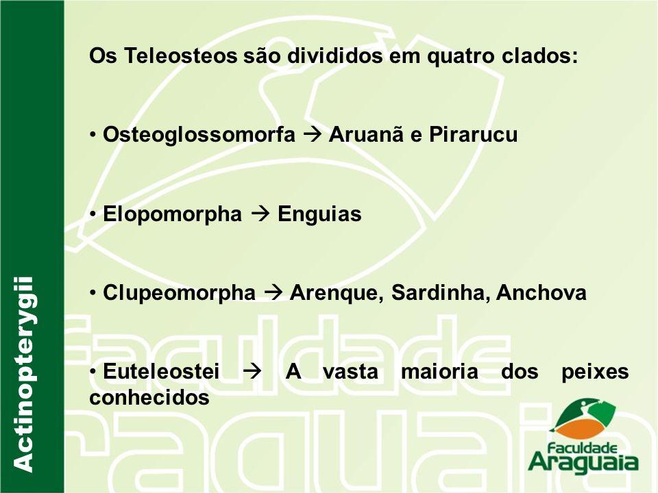 Os Teleosteos são divididos em quatro clados: Osteoglossomorfa Aruanã e Pirarucu Elopomorpha Enguias Clupeomorpha Arenque, Sardinha, Anchova Euteleost