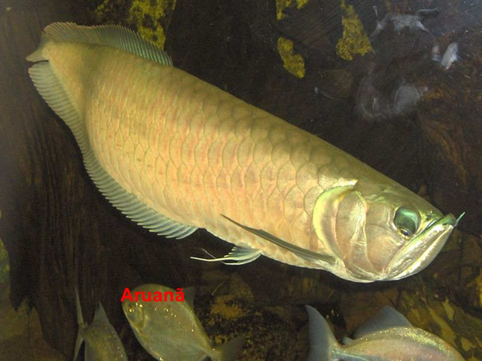 Actinopterygii Pirarucu
