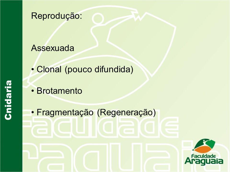 Cnidaria Reprodução: Assexuada Clonal (pouco difundida) Brotamento Fragmentação (Regeneração)