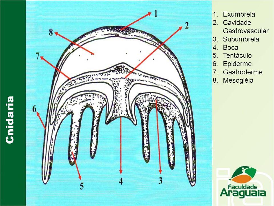 Cnidaria 1.Exumbrela 2.Cavidade Gastrovascular 3.Subumbrela 4.Boca 5.Tentáculo 6.Epiderme 7.Gastroderme 8.Mesogléia