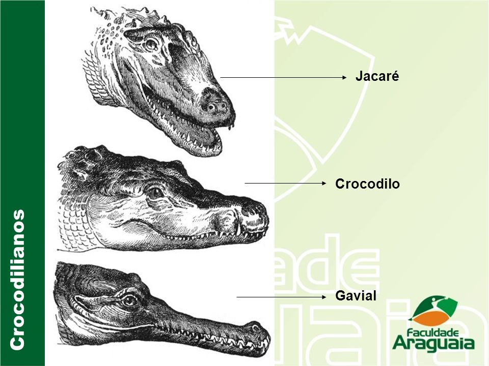 Jacaré Crocodilo Gavial