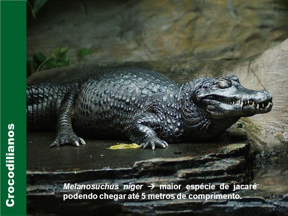 Crocodilianos Crocodylidae Família composta por 14 spp distribuídas nas Américas, África, Ásia e Austrália; Existem espécies dulcícolas, de estuários, mangues e marinhas ; A maior espécie de crocodiliano pertence a esta família Crocodylus porosos (Crocodilo-de- água-salgada) que atinge até 7 metros de comprimento;