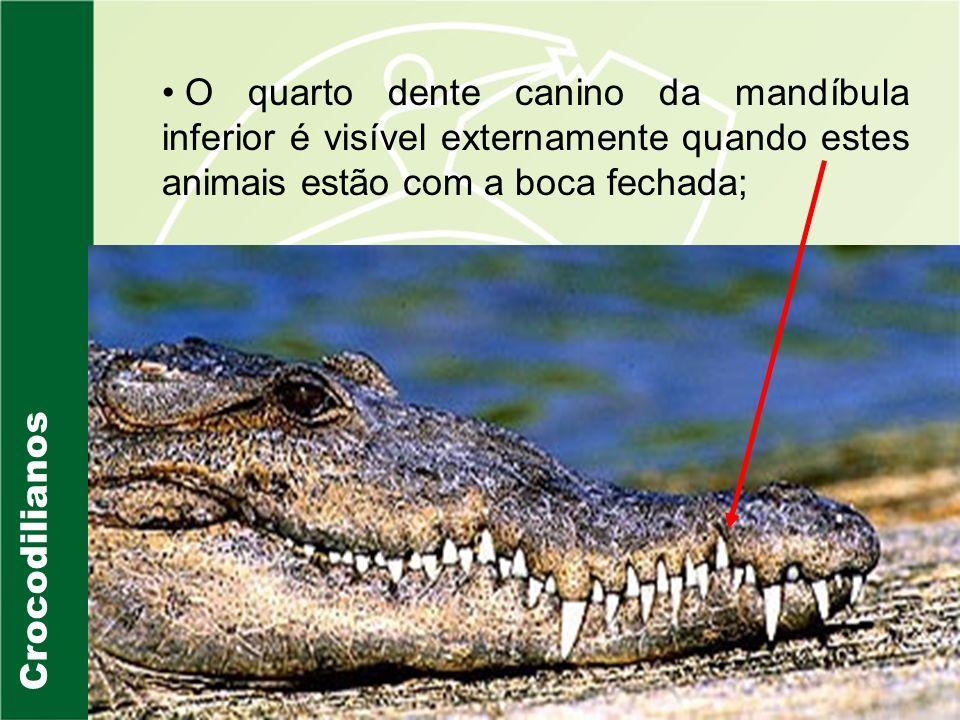 Crocodilianos Crocodylus porosus
