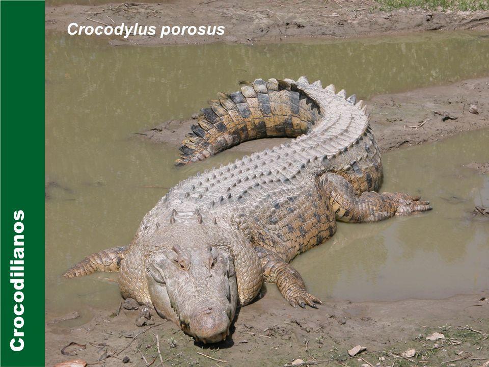 Crocodilianos Gavialidae Apenas uma espécie existente na família: Gavialis gangeticus; Habitam rios da Índia, Paquistão e Bangladesh; Possuem mandíbulas compridas; Estão entre os maiores crocodilianos conhecidos (6 metros de comprimento);
