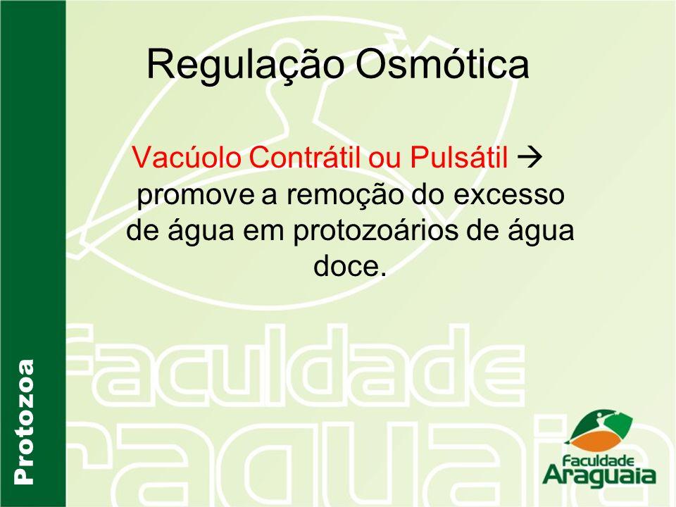 Regulação Osmótica Vacúolo Contrátil ou Pulsátil promove a remoção do excesso de água em protozoários de água doce. Protozoa