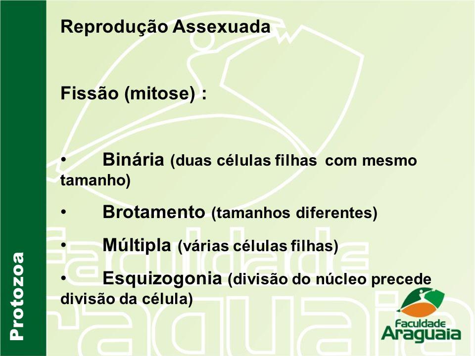 Protozoa Reprodução Assexuada Fissão (mitose) : Binária (duas células filhas com mesmo tamanho) Brotamento (tamanhos diferentes) Múltipla (várias célu
