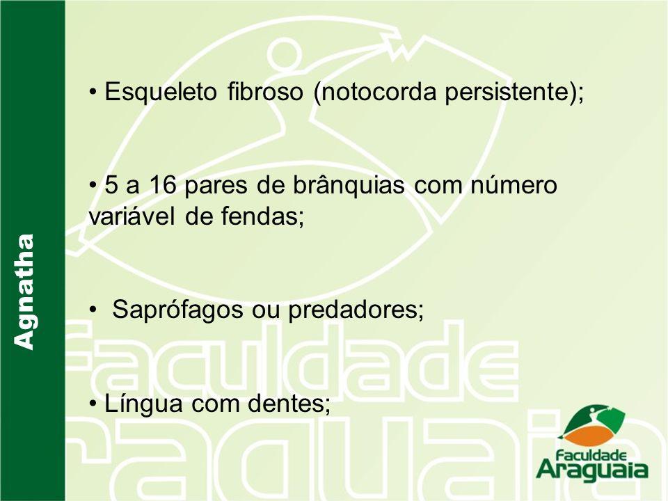Agnatha Esqueleto fibroso (notocorda persistente); 5 a 16 pares de brânquias com número variável de fendas; Saprófagos ou predadores; Língua com dente