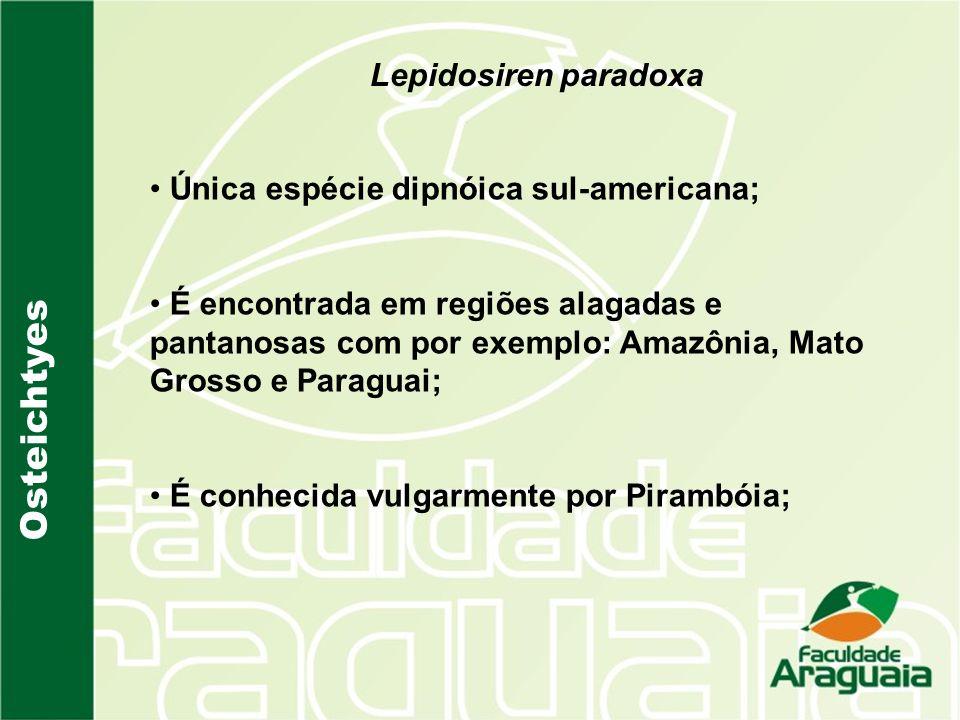 Lepidosiren paradoxa Única espécie dipnóica sul-americana; É encontrada em regiões alagadas e pantanosas com por exemplo: Amazônia, Mato Grosso e Para