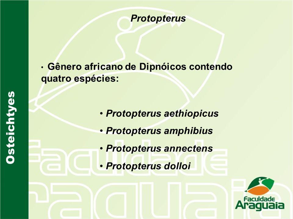 Protopterus Gênero africano de Dipnóicos contendo quatro espécies: Protopterus aethiopicus Protopterus amphibius Protopterus annectens Protopterus dol