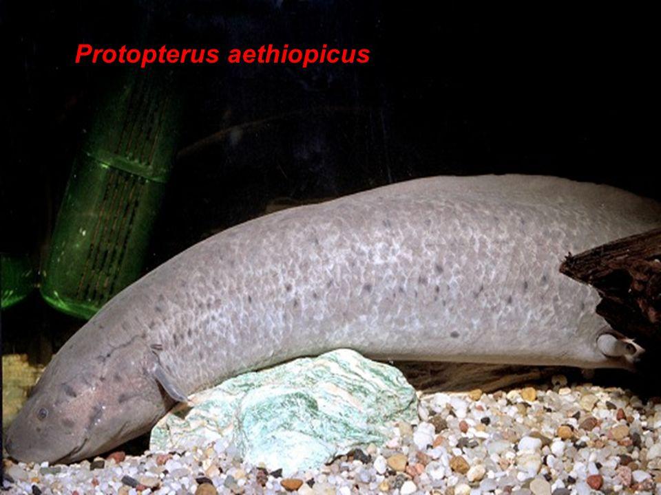 Osteichtyes Protopterus aethiopicus