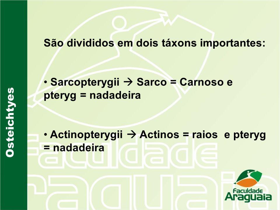 Osteichtyes São divididos em dois táxons importantes: Sarcopterygii Sarco = Carnoso e pteryg = nadadeira Actinopterygii Actinos = raios e pteryg = nad