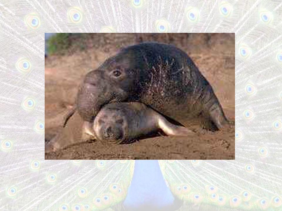 Comportamento de Babuínos Associação Macho – Fêmea e cuidado dos filhotes Associação Macho – Macho e confronto com um rival mais forte