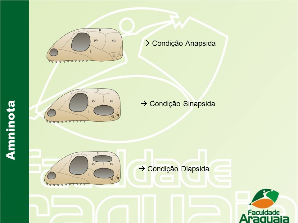 Amninota Condição Anapsida Condição Sinapsida Condição Diapsida