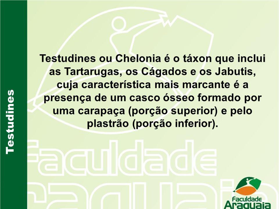 Testudines Testudines ou Chelonia é o táxon que inclui as Tartarugas, os Cágados e os Jabutis, cuja característica mais marcante é a presença de um ca