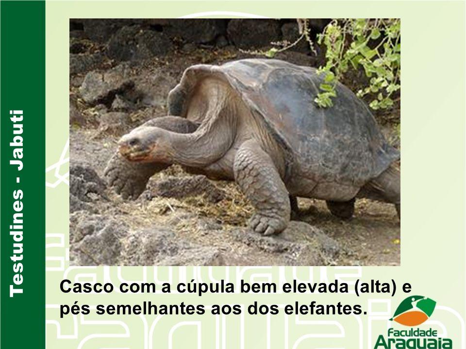 Testudines - Jabuti Casco com a cúpula bem elevada (alta) e pés semelhantes aos dos elefantes.