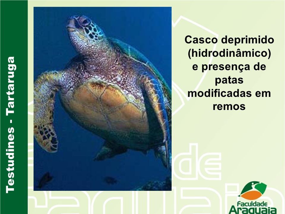 Testudines - Tartaruga Casco deprimido (hidrodinâmico) e presença de patas modificadas em remos