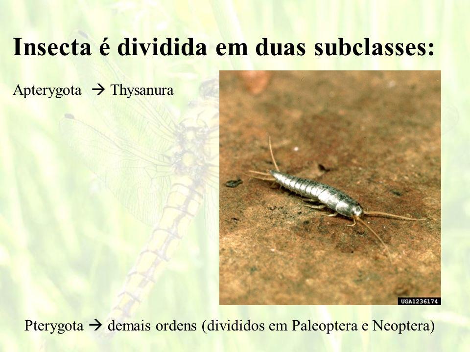 Paleoptera Ordem Ephemeroptera Ephemero = efêmero, passageiro, breve. Ptera = asa.
