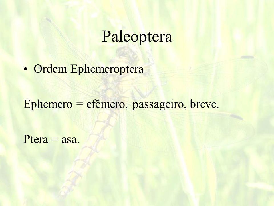 Ordem Isoptera Iso = Iguais e Ptera = asas Composta pelos cupins ou térmites (insetos sociais) Alimentam-se de matéria orgânica vegetal (madeira e derivados) Antenas filiformes e moniliformes (diferente das formigas que são geniculadas) Abdomen liga-se largamente ao tórax NEOPTERA