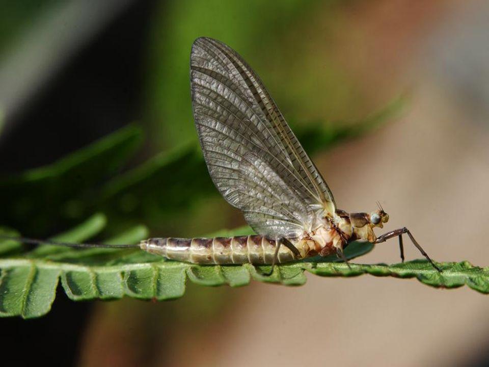 Ordem Mantodea Mantis = Louva-Deus Pernas anteriores raptórias Movimentação Lenta Protórax alongado Predadores (inclusive canibais) Hemimetábulos