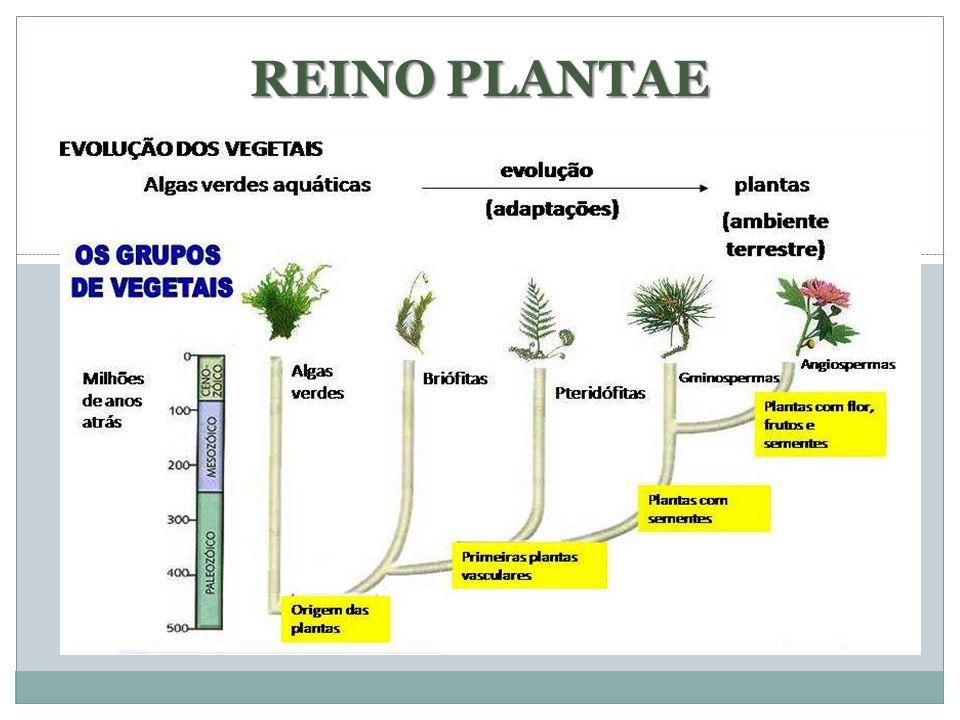 COMPONENTES ATUAIS DO REINO PLANTAE Conhecidas mais de 320 mil espécies (diferentes em tamanho, forma e organização corporal); 12 filos (3 avasculares e 9 vasculares)